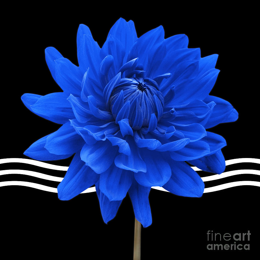 Dahlia Flower And Wavy Lines Triptych Canvas 2 - Blue Photograph