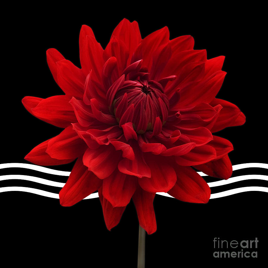 Dahlia Flower And Wavy Lines Triptych Canvas 2 - Red Photograph