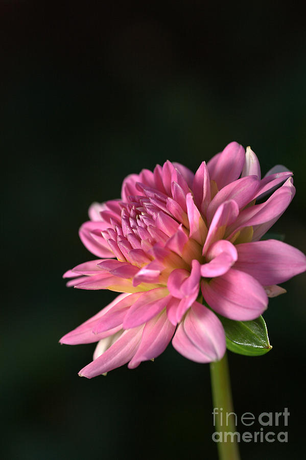 Dahlia In The Spotlight Photograph  - Dahlia In The Spotlight Fine Art Print