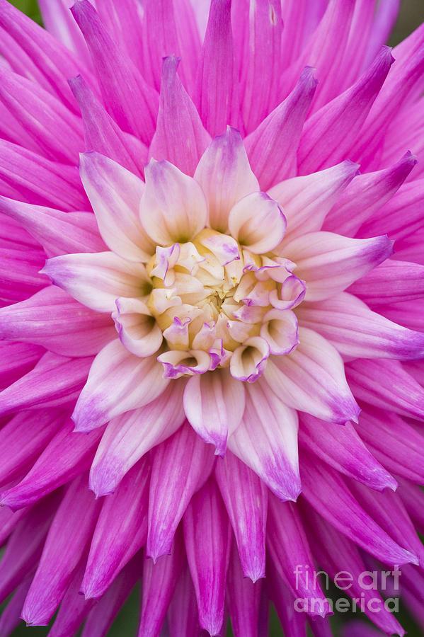 Dahlia Ruskin Andrea Flower Photograph
