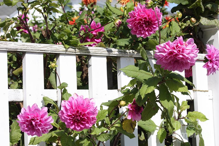 Dahlias Over The Fence Photograph  - Dahlias Over The Fence Fine Art Print