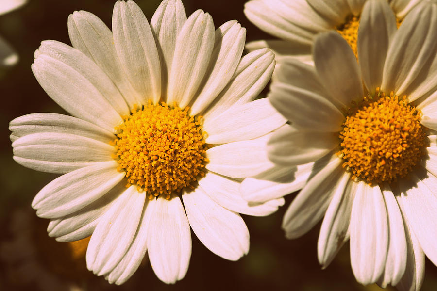 Flower Photograph - Daisies by Chevy Fleet