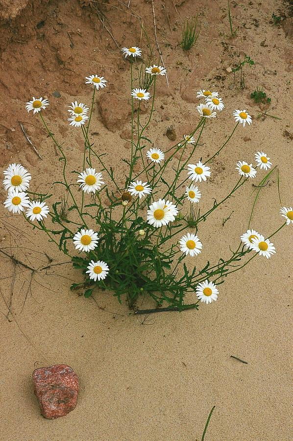 Daisies In The Sand Photograph  - Daisies In The Sand Fine Art Print