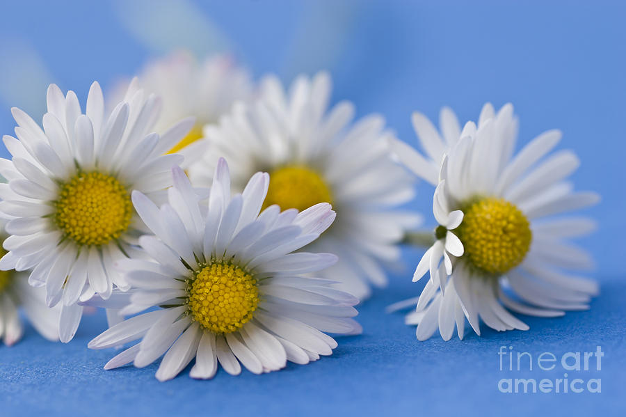 Daisies On Blue Photograph  - Daisies On Blue Fine Art Print