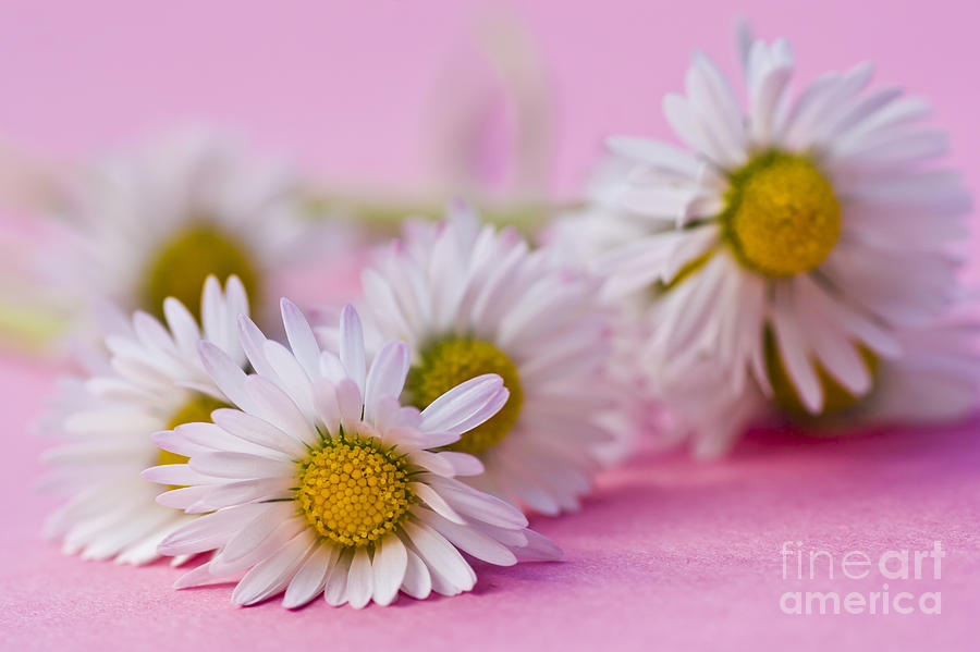 Beautiful Photograph - Daisies On Pink by Jan Bickerton