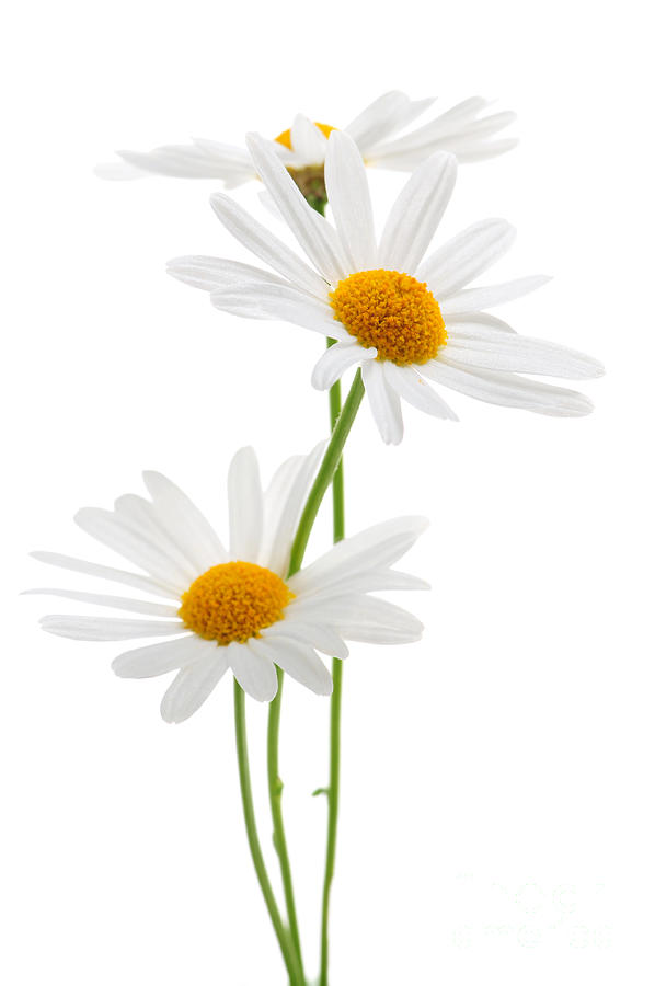Daisies On White Background Photograph  - Daisies On White Background Fine Art Print