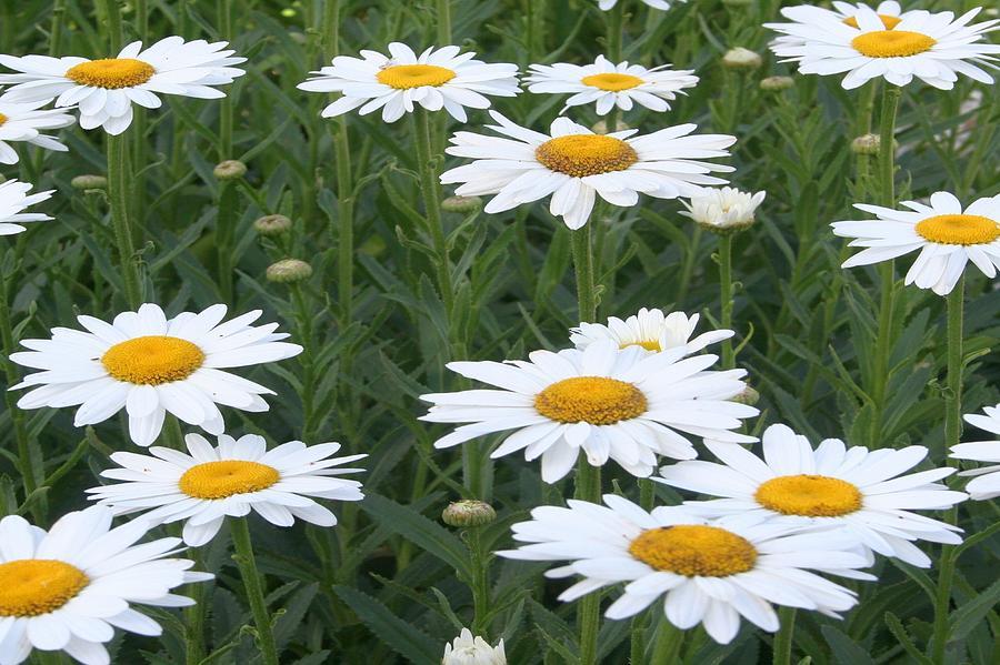 Daisies Photograph