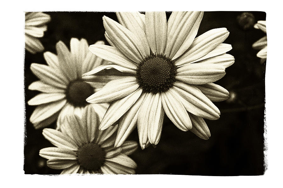 Flower Photograph - Daisy 2 by Tanya Jacobson-Smith