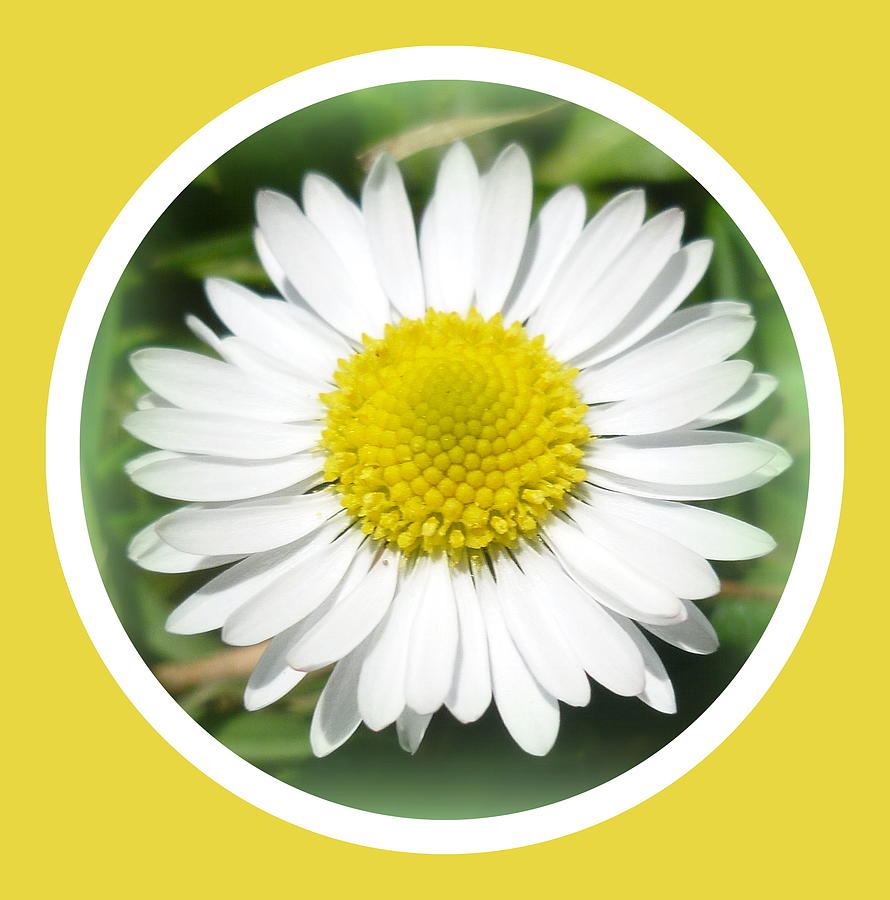 Daisy Photograph - Daisy Closeup by The Creative Minds Art and Photography