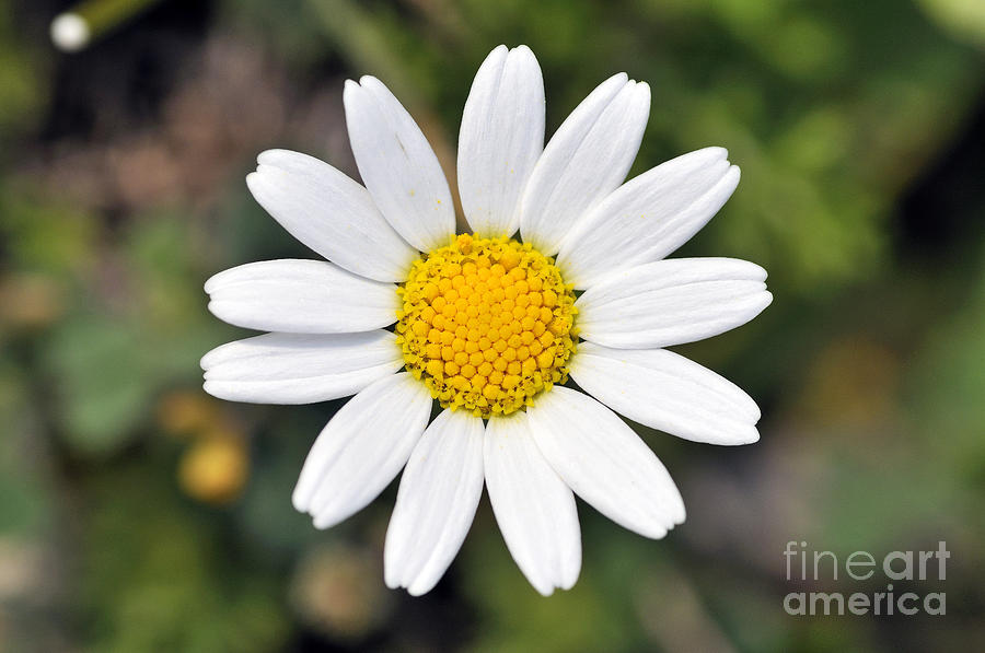Daisy Flower is a photograph by George Atsametakis which was uploaded ...