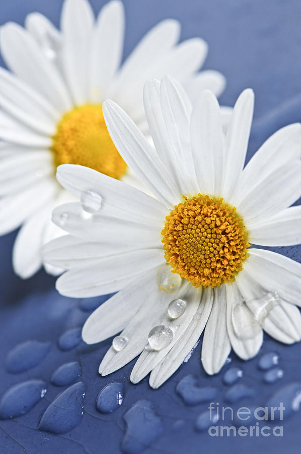 Daisy Flowers With Water Drops Photograph