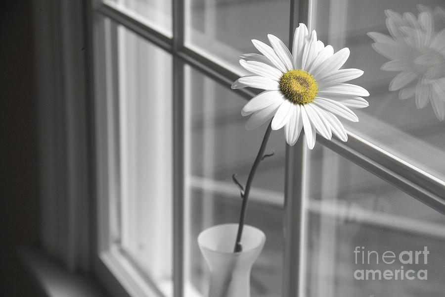 Daisy In The Window Photograph