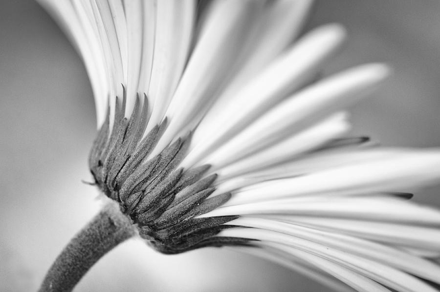 Daisy Noir Photograph