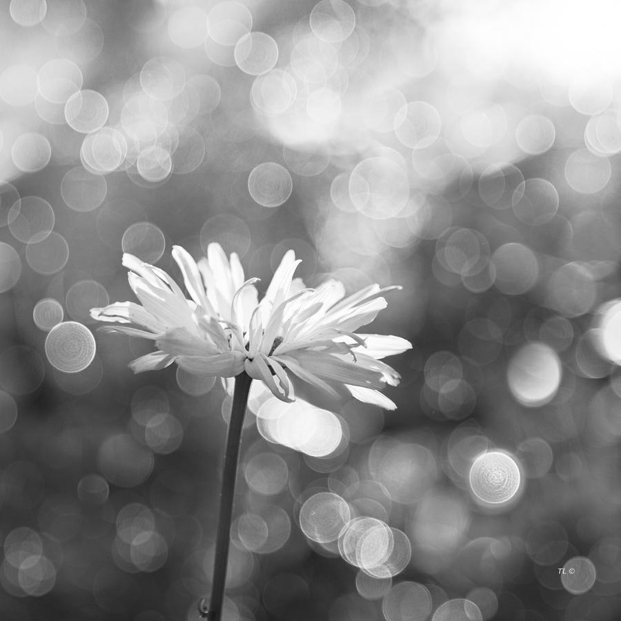 Daisy Rain Photograph