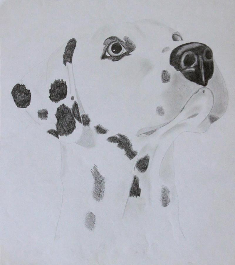 Dog Drawing - Dalmatian by AR Annahita