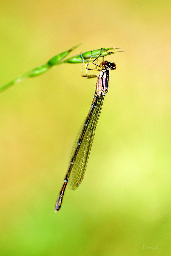 Damselfly Photograph  - Damselfly Fine Art Print