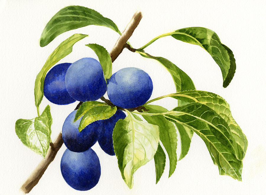 Damson Plums Horizontal Design On White Painting