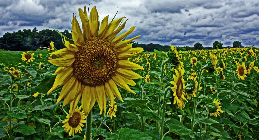 Dance Of The Sunflowers Photograph