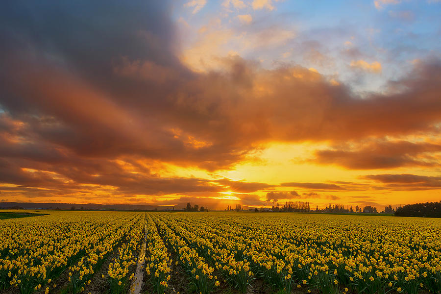 Daffodil Photograph - Dances With The Daffodils by Ryan Manuel