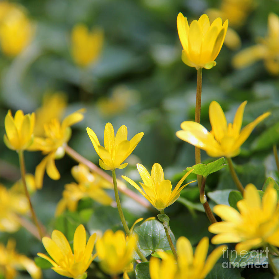 Dancing Buttercups Photograph  - Dancing Buttercups Fine Art Print