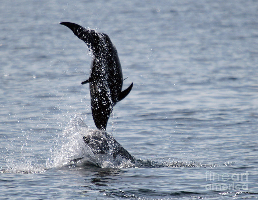 Dancing Photograph - Dancing Dolphins by Bob Hislop