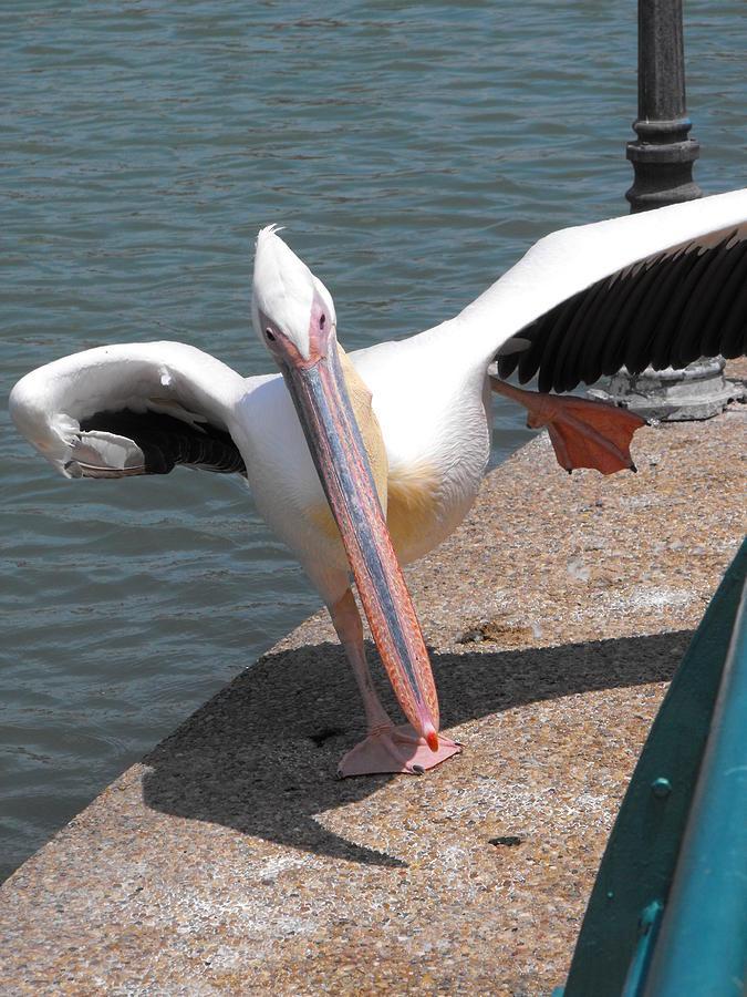 Dancing Pelican Photograph