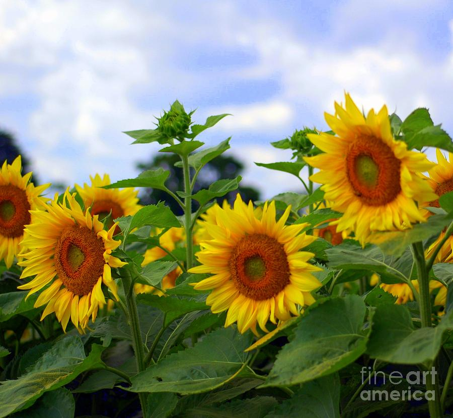 Dancing Sunflowers Photograph  - Dancing Sunflowers Fine Art Print