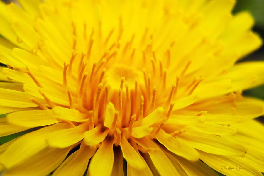 Dandelion Photograph - Dandelion by Christina Rollo