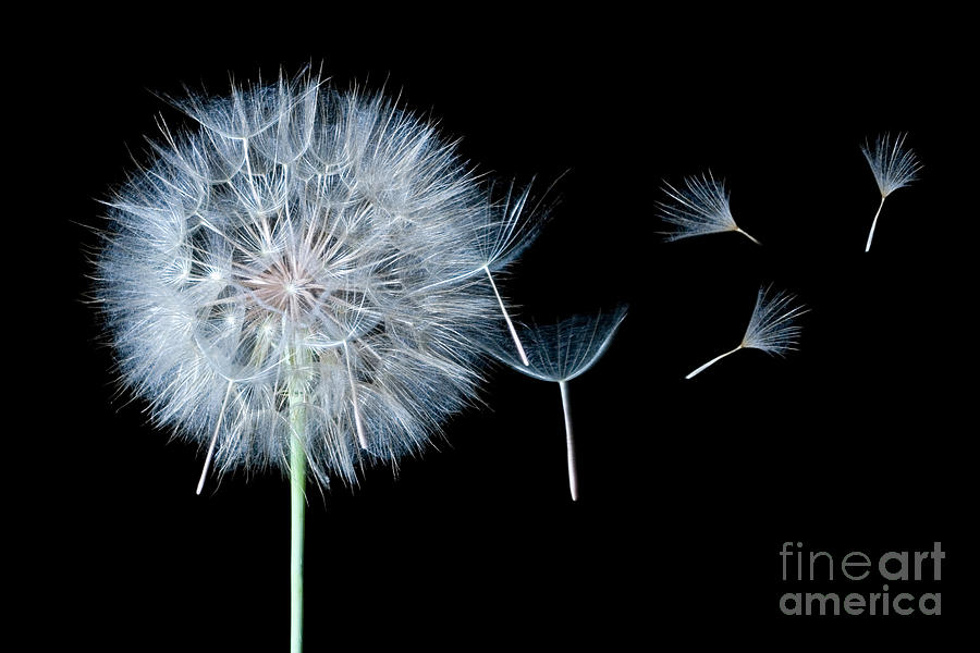 Dandelion Photograph - Dandelion Dreaming by Cindy Singleton