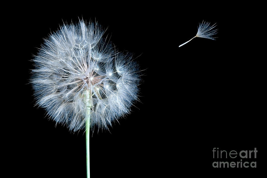 Dandelion Dreams Digital Art  - Dandelion Dreams Fine Art Print