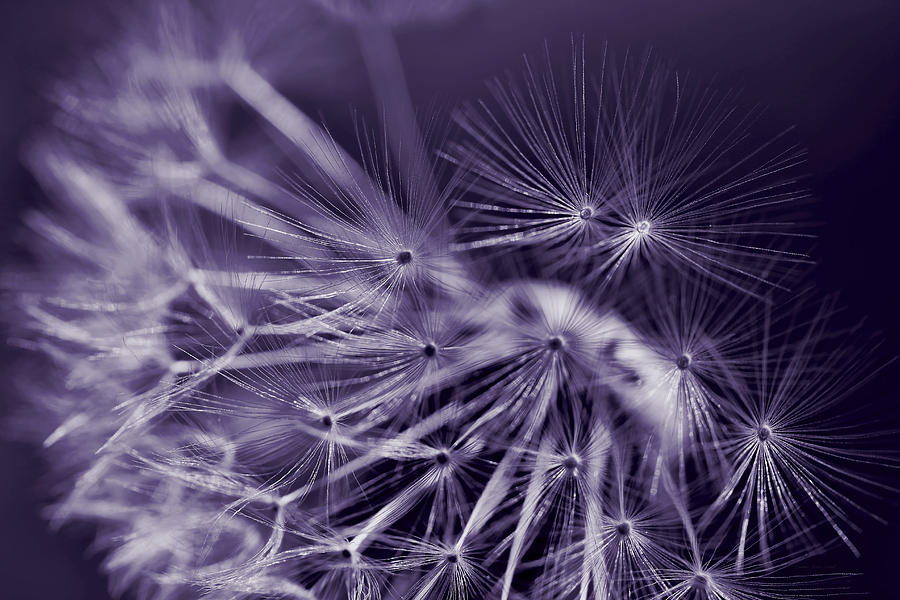 Dandelion Fly Away Dark Purple Photograph  - Dandelion Fly Away Dark Purple Fine Art Print