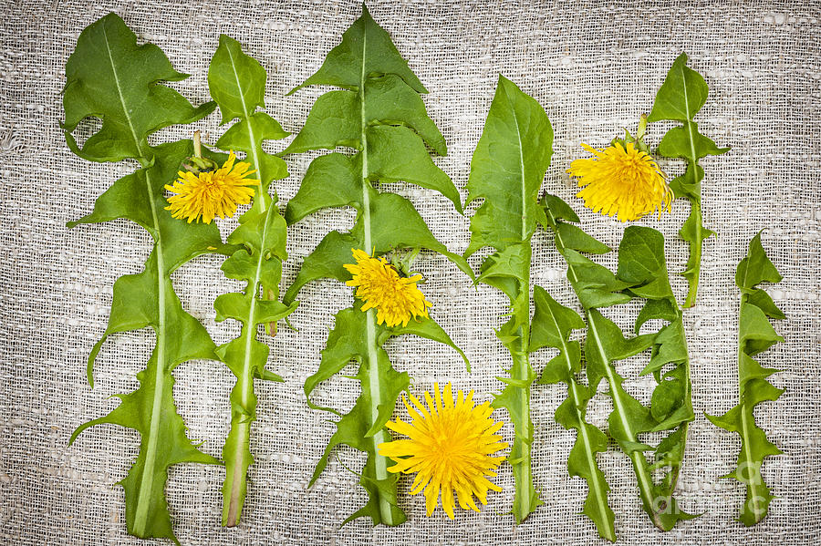 Dandelion greens and flowers by elena elisseeva royalty for Dandelion flowers and gifts