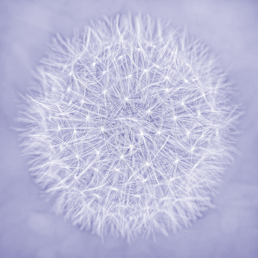 Dandelion Marco Abstract Lavender Photograph  - Dandelion Marco Abstract Lavender Fine Art Print