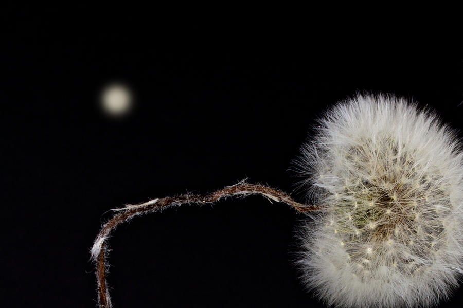 Flower Photograph - Dandelion Parachute Ball by Bob Orsillo