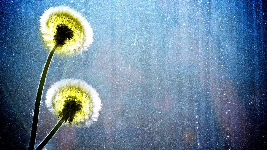 Dandelion Parachute Balls Photograph
