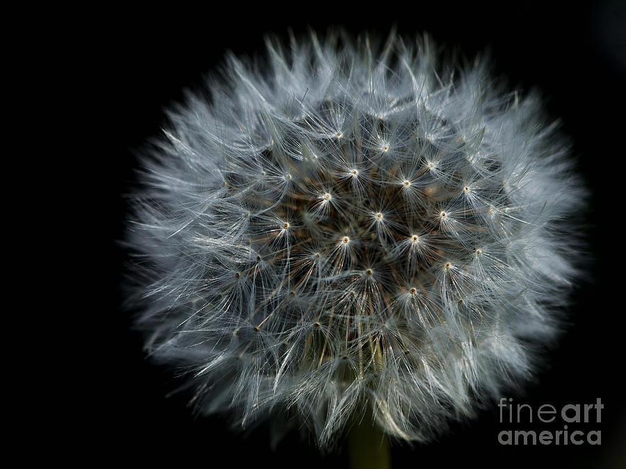 Dandelion Seed Head On Black Photograph  - Dandelion Seed Head On Black Fine Art Print