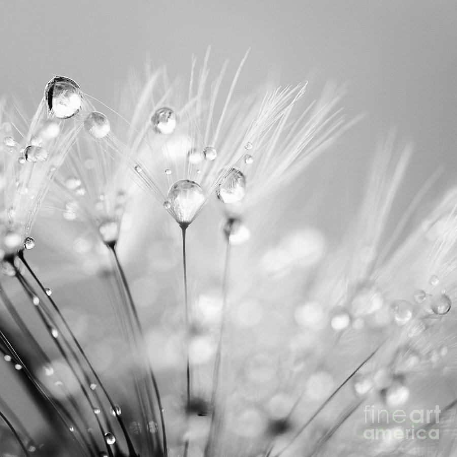 Dandelion Seed With Water Droplets In Black And White Photograph  - Dandelion Seed With Water Droplets In Black And White Fine Art Print
