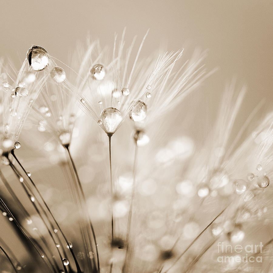 Dandelion Seed With Water Droplets In Sepia Photograph