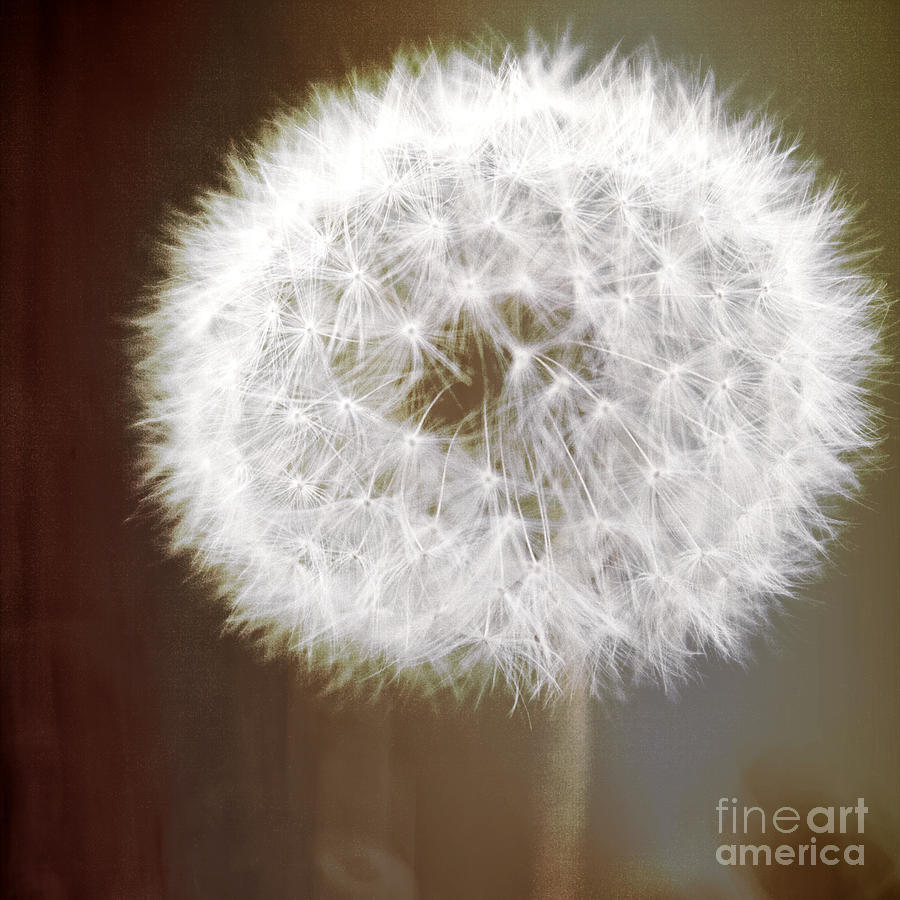 Dandelion Soft White Flower With Earth Tone Background Fine Art Photo Photograph  - Dandelion Soft White Flower With Earth Tone Background Fine Art Photo Fine Art Print