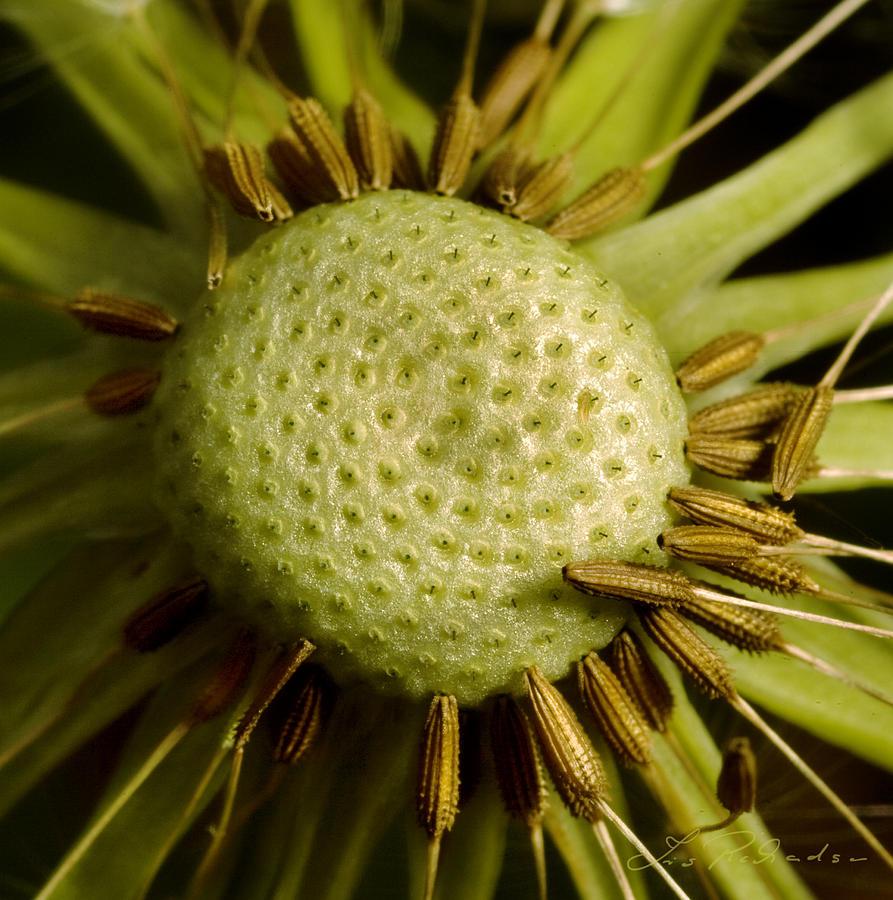 dandelion seeds July
