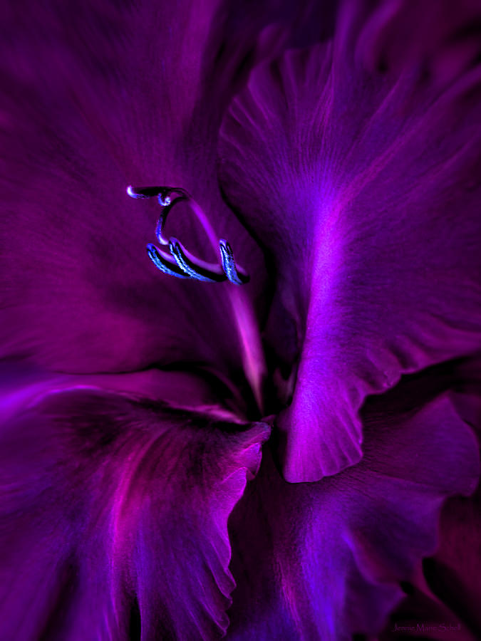 Dark Knight Purple Gladiola Flower Photograph  - Dark Knight Purple Gladiola Flower Fine Art Print