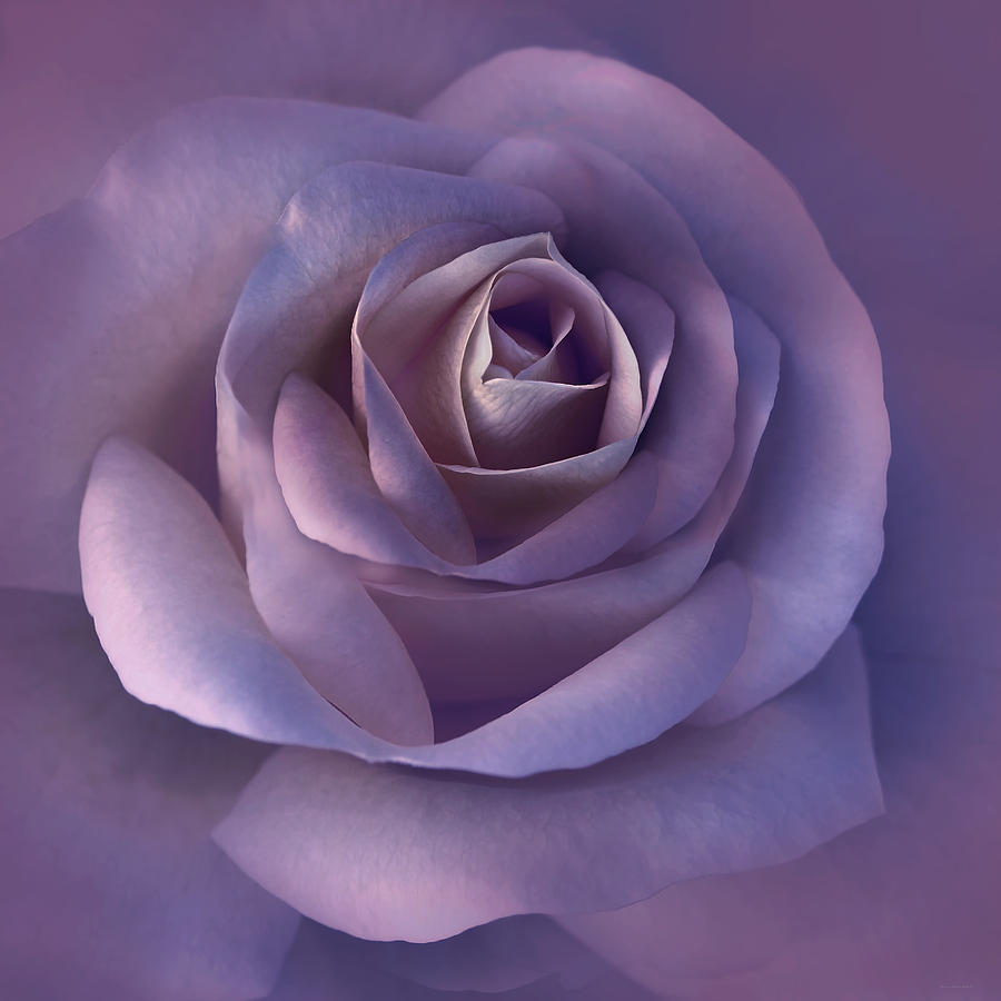 Dark Plum Rose Flower Photograph
