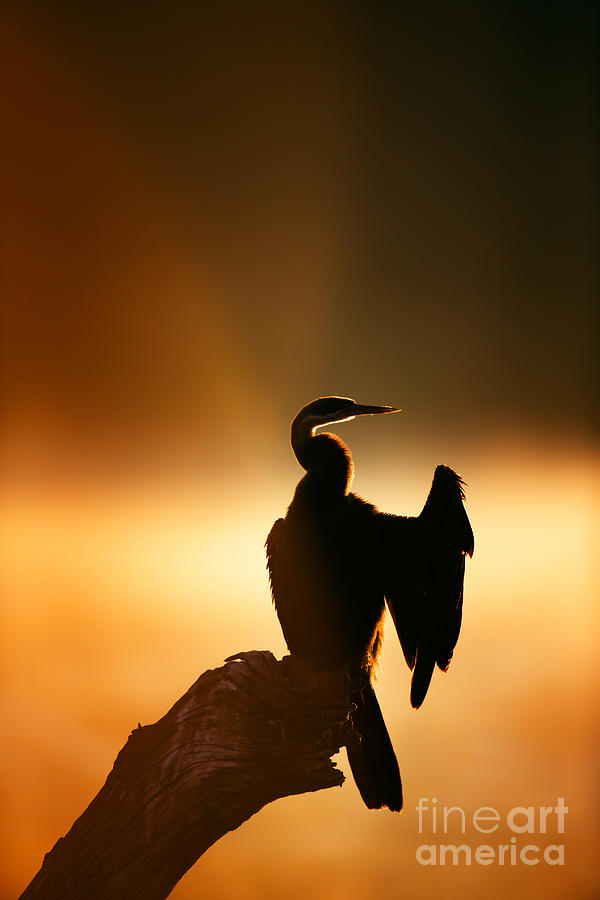 Darter With Misty Sunrise Over Water Photograph