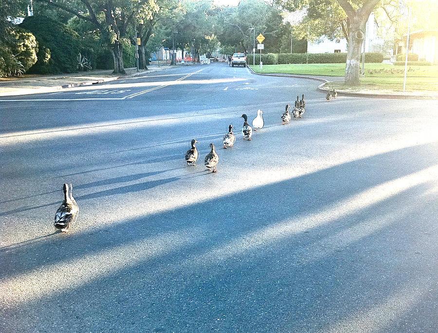 Davis Ducks Photograph