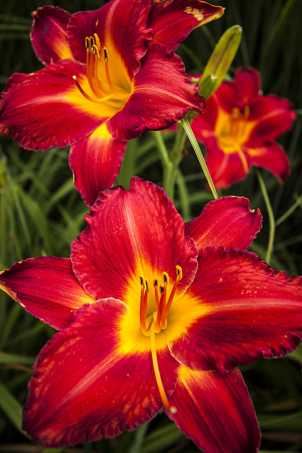 3scape Photos Photograph - Day Lilies by Adam Romanowicz