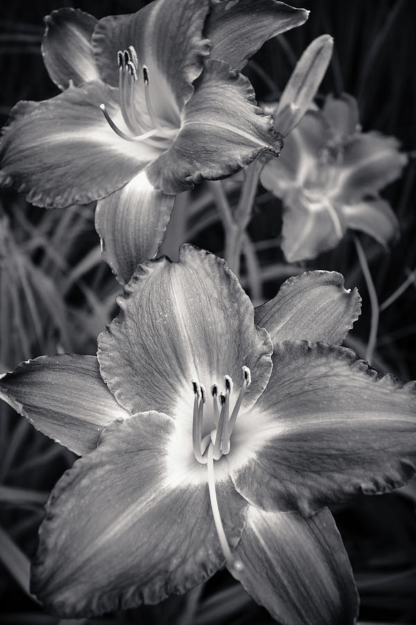 Day Lilies In Black And White Photograph