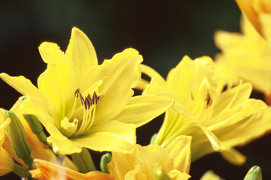 Day Lilies Photograph
