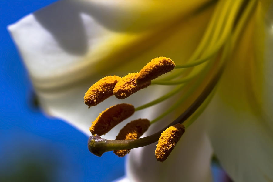 Day Lilly Macro With Sky Background Photograph  - Day Lilly Macro With Sky Background Fine Art Print