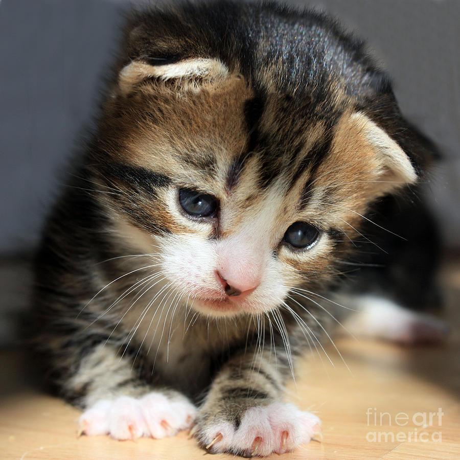 Daydreamer Kitten Photograph