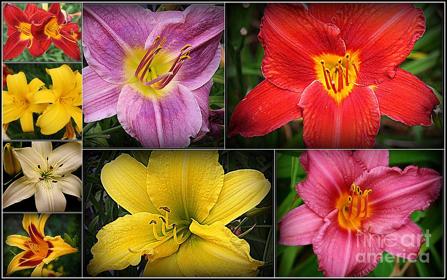 Daylily Days  Photograph